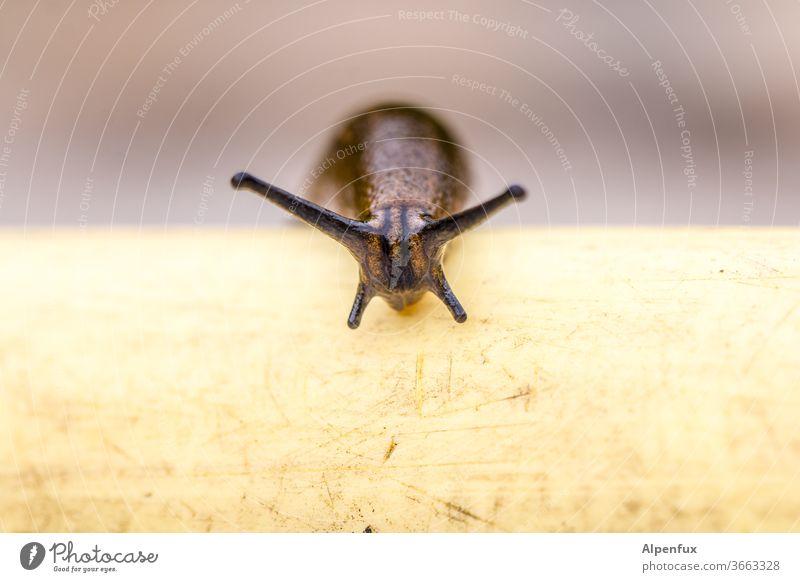 Dreimeterachzig Hindernislauf Schnecke Nacktschnecken Farbfoto Makroaufnahme schleimig Nahaufnahme Außenaufnahme langsam Fühler Schleim Weichtier Natur Tier