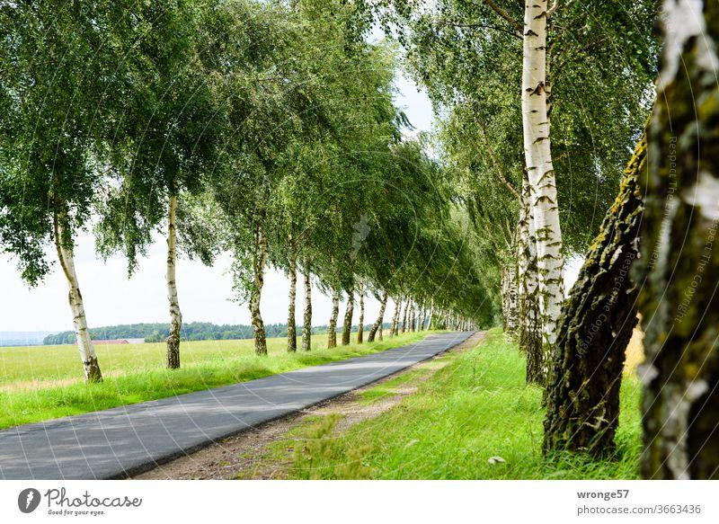 Birkenallee im irgendwo Birkenweg baumgesäumt Radweg Sommer Baum Wege & Pfade Außenaufnahme Landschaft Straße Menschenleer Tag Farbfoto grün Gras Birkenstämme