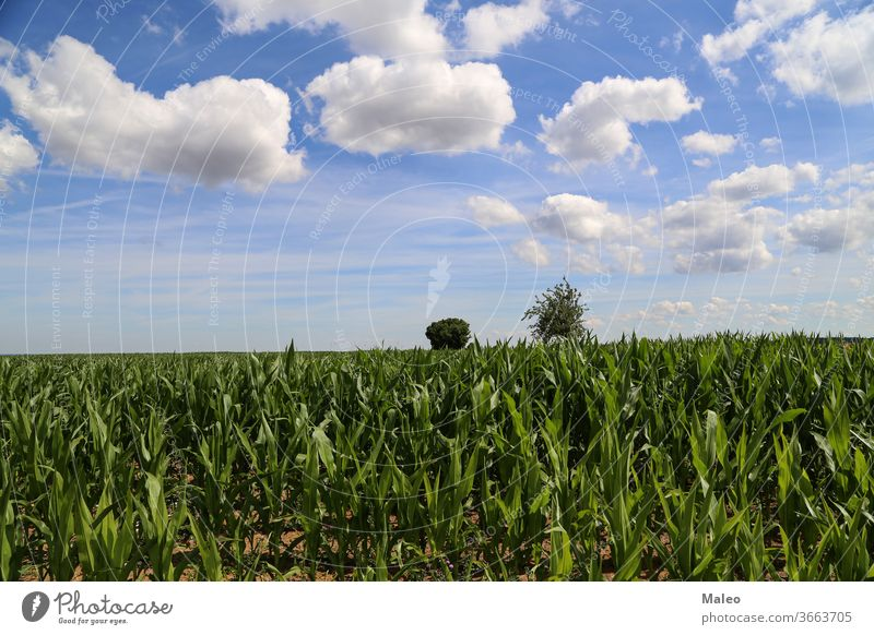 Grünes Kornfeld vor blauem Himmel mit weißen Wolken Ackerbau Feld grün Landschaft Natur Mais Landwirtschaft Sommer Bauernhof Ackerland ländlich Saison Ernte