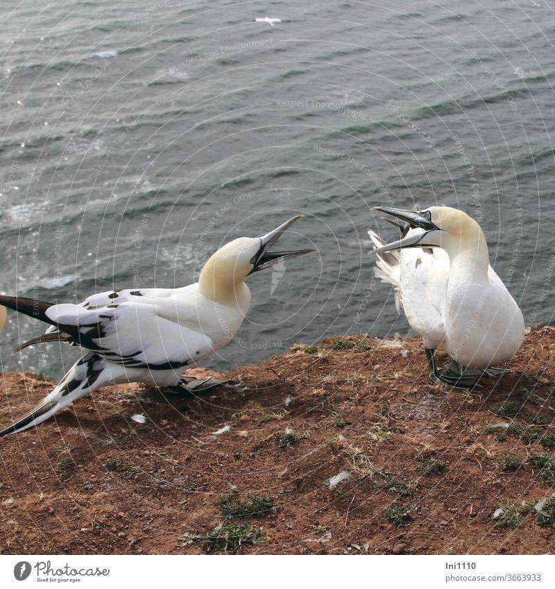 streitende halbwüchsige Basstölpel auf dem roten Felsen von Helgoland Vogel roter Felsen Felskante Seevogel Jungtiere zanken Platzverteidigung Insel Helgoland