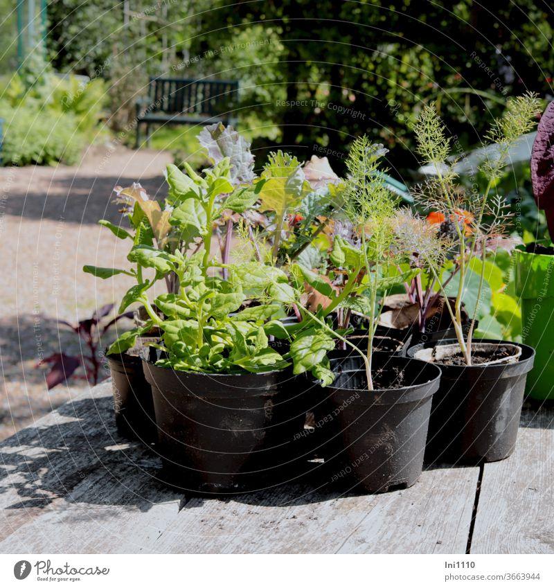 Anzucht von Gemüsepflanzen in Töpfen Fenchel Kohlrabi schwarze Töpfe Arbeitsplatte Holz Jungpflanzen Nachschub Garten Gartenbank schönes Wetter Leidenschaft