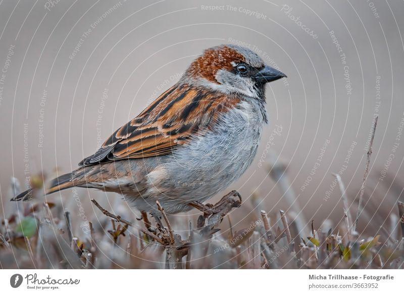 Spatz auf der Hecke Sperlingsvögel Tiergesicht Auge Schnabel Flügel Feder Krallen Zweige u. Äste Vogel Wildtier beobachten Blick nah natürlich Schönes Wetter