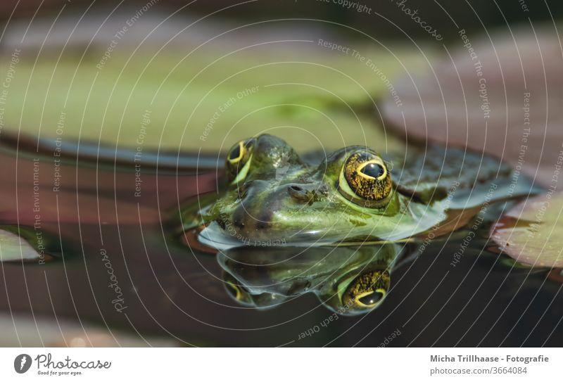 Frosch schaut aus dem Wasser Teichfrosch Pelophylax Wasserfrosch Kopf Gesicht Augen Maul Nase See Wasseroberfläche schwimmen Spiegelung Reflexion Spiegelbild