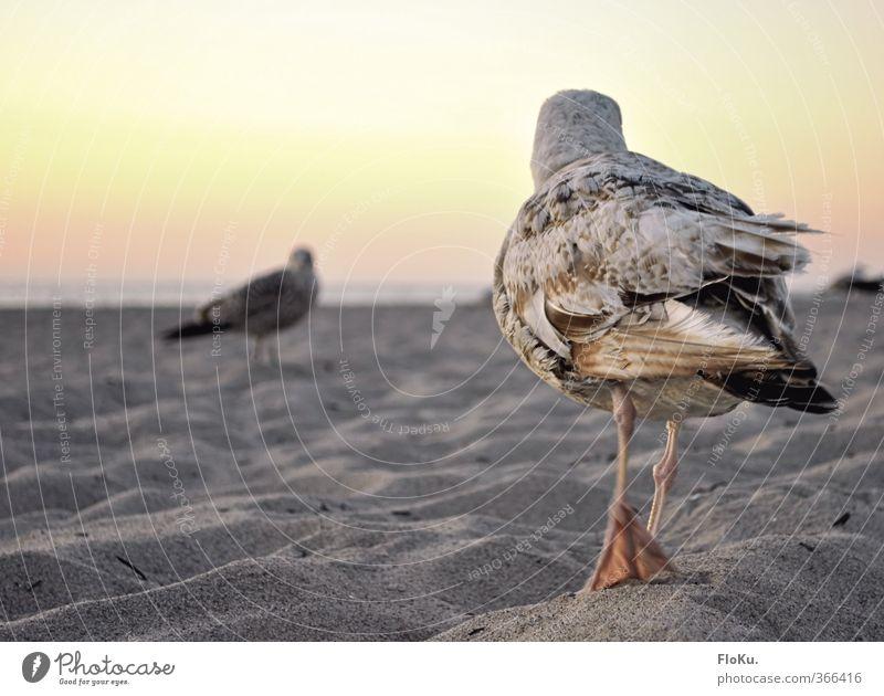 Duell am Strand Ferien & Urlaub & Reisen Ausflug Ferne Sommerurlaub Meer Sand Wolkenloser Himmel Schönes Wetter Küste Tier Wildtier Vogel Flügel 2 gehen Möwe