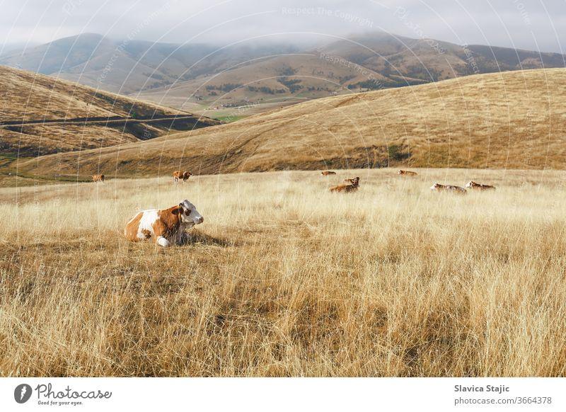 Landschaftliche Ansicht einer ländlichen, nebligen Berglandschaft mit einer Kuh . Natur- und Landschaftskonzept Ackerbau Tier Herbst schön blau Kühe Ernte Tag