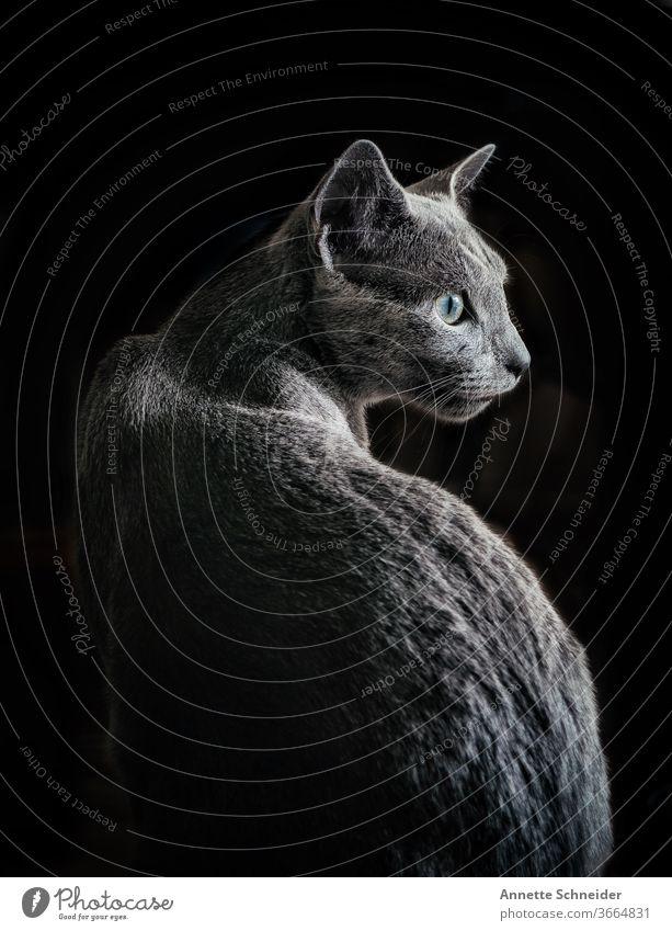 Russisch Blau junger Kater Rassekatze Katze Stufe haustier Lebewesen Fiel Schönheit