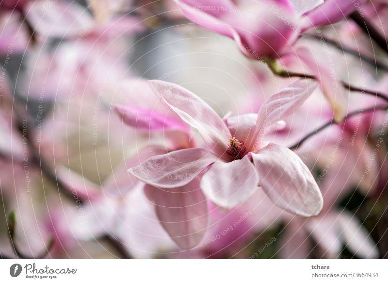 Nahaufnahme einer schönen weißen und rosa Magnolienblüte Blütenblätter Tautropfen Detailaufnahme Frühlingshintergrund tulpenförmig Magnolien-Tulpenbaum April