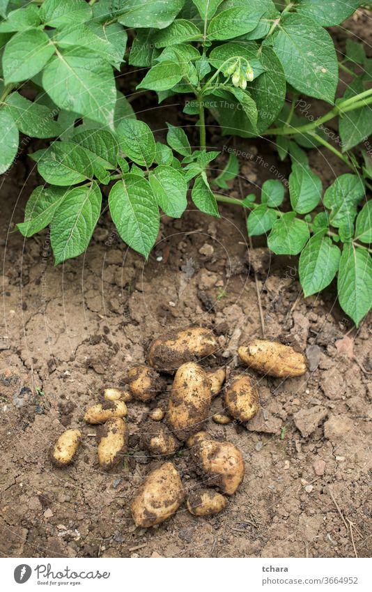 Frische Kartoffeln aus dem Boden Bodenbearbeitung Bauernhof Umwelt Betrag Zutaten Erde jung Reifung wachsend Graben Haufen produzieren veggies Ackerland