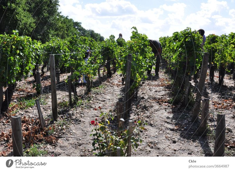 Arbeiter im Weinberg eines Grand Cru Château, Pauillac, Bordelais Grüne Lese Ernte Reben Weinreben Rebenlese Grand Cru Classe Bordeaux Luxus schuften
