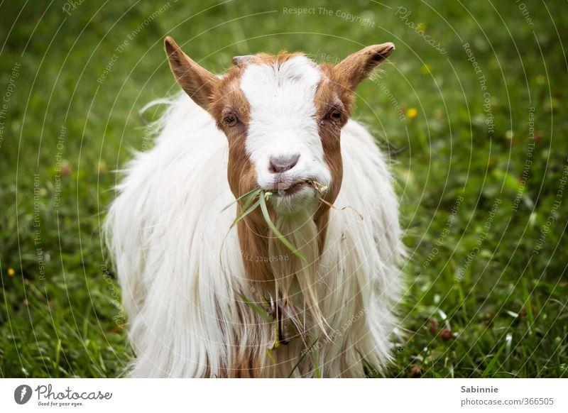 Maaaaampf. Blume ruhig Tier Gras Alpen Bauernhof langhaarig Fressen frech Nutztier Alm Ziegen Sextener Dolomiten Streichelzoo anschauend Kauen