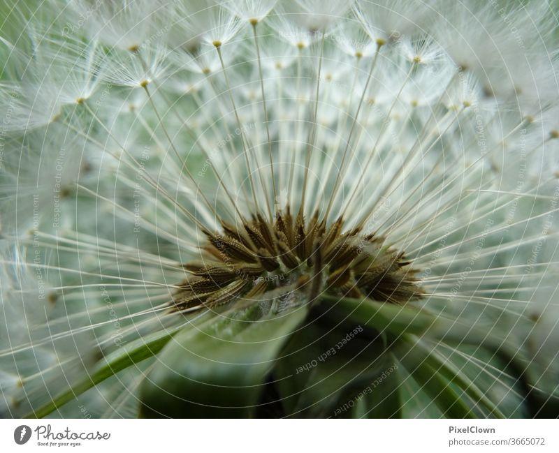 Pusteblume in einer Nahaufnahme Makroaufnahme Löwenzahn Pflanze Samen Flora, Sommer, Harmonie