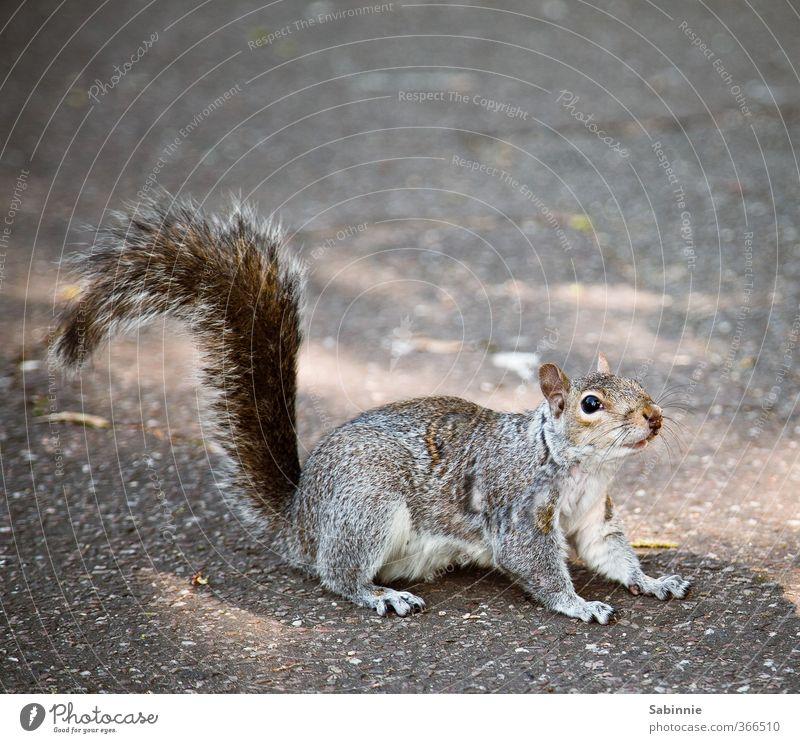 Hörnchen zum Frühstück Tier Auge Kopf Wildtier niedlich Nase Neugier Fell Geruch Pfote kuschlig Vorsicht Schwanz Eichhörnchen Nagetiere Krallen