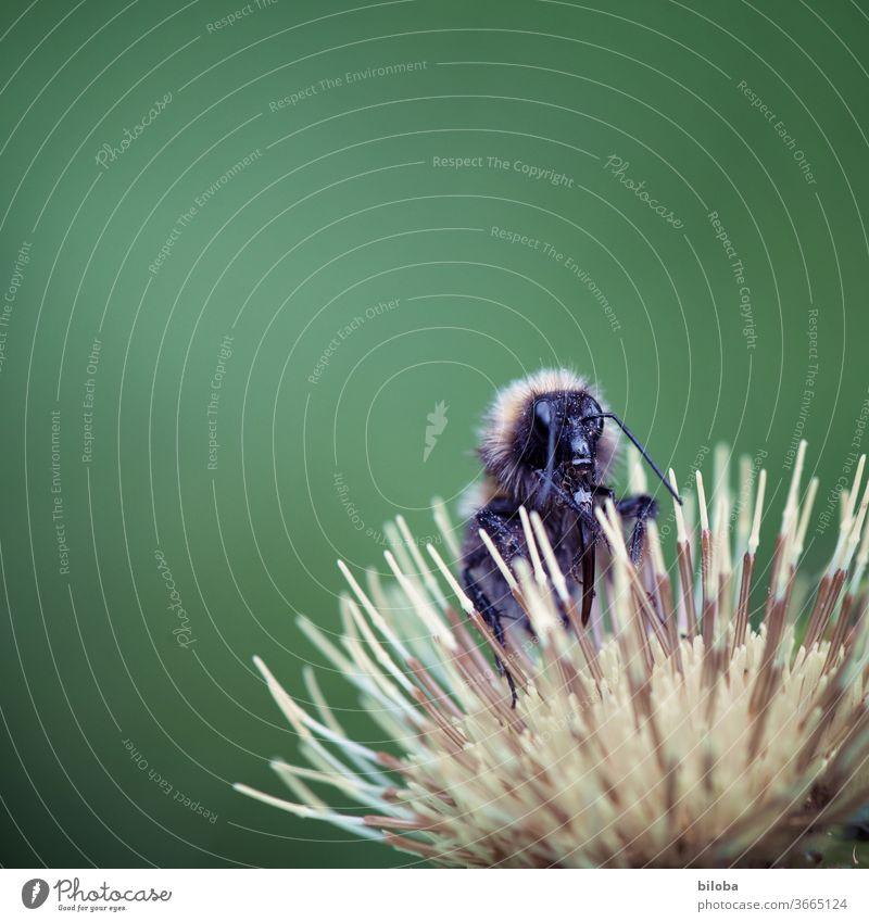 Biene leckt Nktar auf Blüte. Insekt lecken Zunge Nektar Blume Wald Waldblume Honig Makroaufnahme Rüssel gelb grün