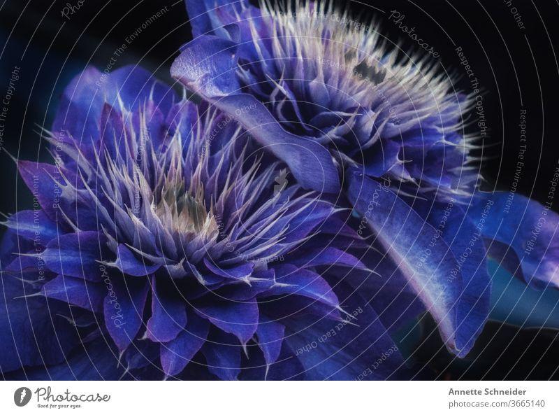 Blaue Clematis Pflanze Natur Makroaufnahme Blume Frühling Detailaufnahme Farbfoto Kletterpflanze Garten Blüte Blühend
