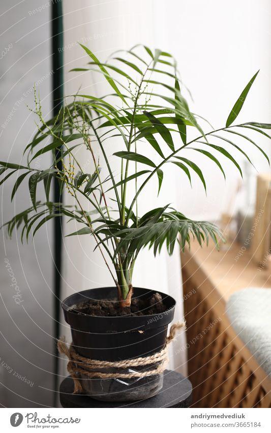 Frische grüne Pflanze mit dünnen Blättern in einer Vase auf der weißen Fensterbank. häuslicher Komfort. selektiver Fokus frisch Hintergrund Blatt Natur
