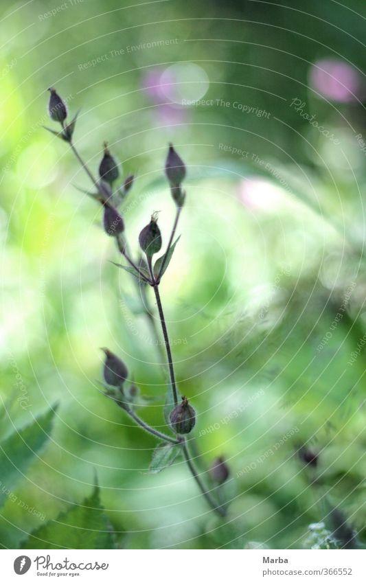 Lichtnelke. Eine Begegnung. Natur grün schön Sommer Pflanze Blume ruhig Wald Wiese Blüte natürlich Stimmung Deutschland Kraft authentisch wandern