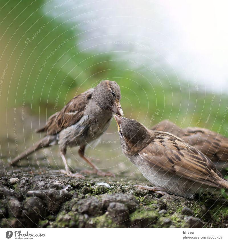Zwei Vögel teilen sich ihr Futter. Vogel Spatz Spatzen füttern Tierporträt küssen sozial Fressen Schnabel