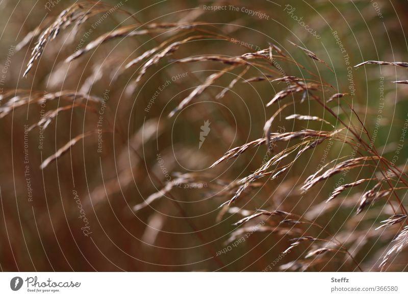 wie Wind im Gras Natur Pflanze Farbe dunkel Wiese Bewegung braun Zufriedenheit Gelassenheit Halm Leichtigkeit wehen beweglich Ähren