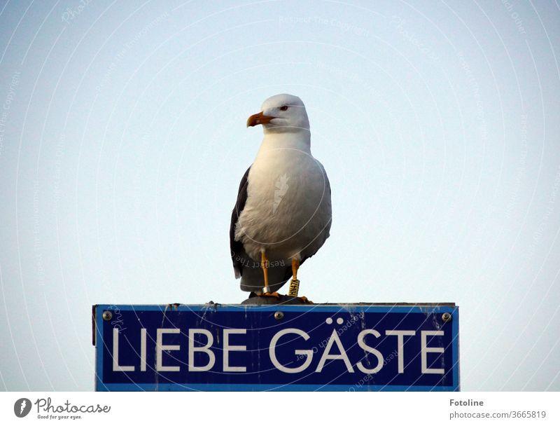 """Na wo steckt die Fotoline? Die kommt doch immer hier vorbei! - oder eine Möwe sitzt auf einem Schild mit der Aufschrift """"Liebe Gäste"""" und wartet. Möwenvögel"""