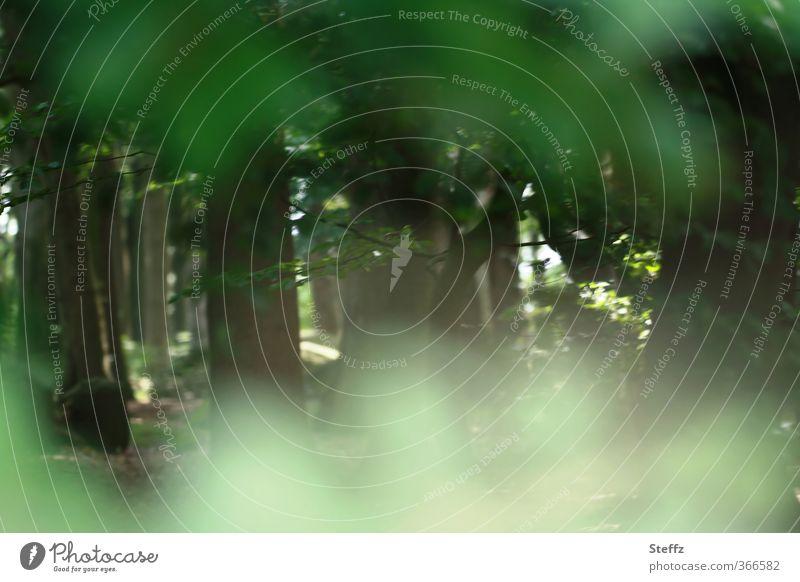Waldgeheimnis Natur grün Pflanze Sommer Baum Landschaft ruhig Blatt Umwelt geheimnisvoll Baumstamm verstecken unklar Nachmittag Lichteinfall