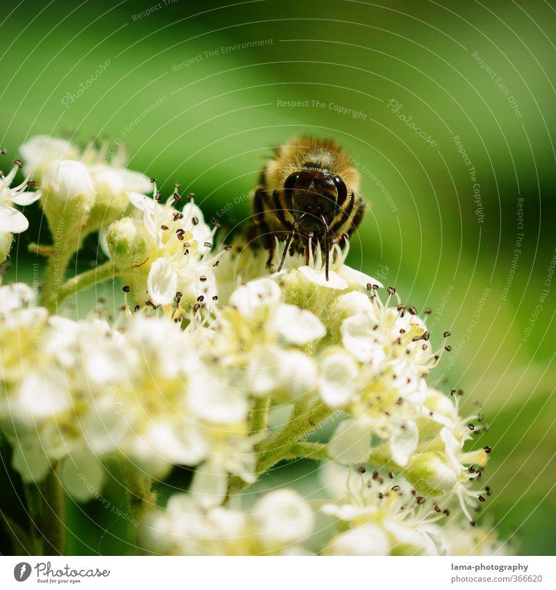 Yammi... Sommer Blume Frühling Blüte Essen Lebensmittel Biene Pollen Honig Wespen Blütenstauden Nektar Nahrungssuche Honigbiene Imker Imkerei