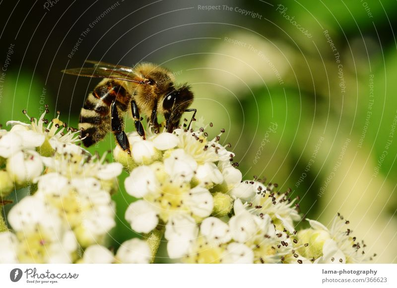 Fleißiges Bienchen Natur Sommer Blume Tier Frühling Blüte Essen Wildtier Biene Pollen Honig Wespen Blütenstempel Nektar Blütenstauden Nahrungssuche