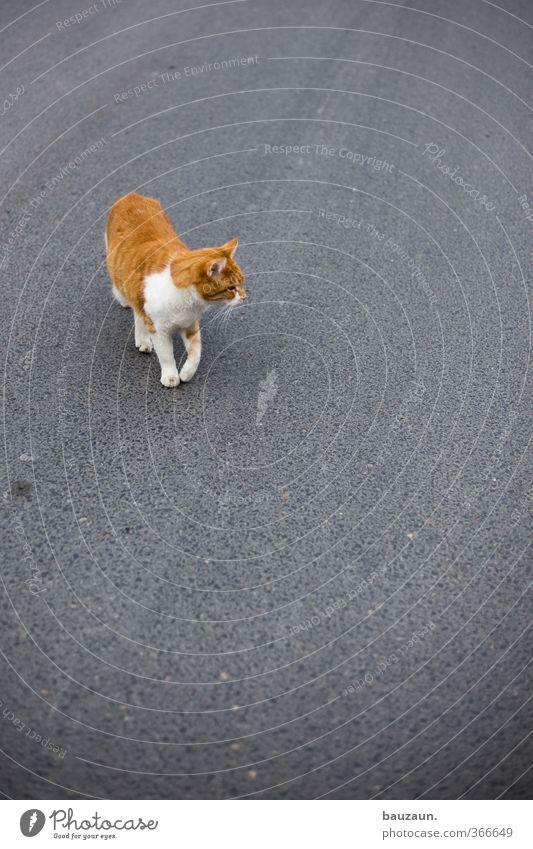 on the road. Katze weiß rot Tier Straße Bewegung Wege & Pfade grau gehen laufen Verkehr gefährlich Abenteuer beobachten Sicherheit Lebensfreude