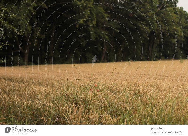 Getreidefeld vor einem Wald. Landwirtschaft, Ernährung Feld weizen getreide landwirtschaft ähren mohnblumen ländlich Sommer Weizenfeld Kornfeld Nutzpflanze