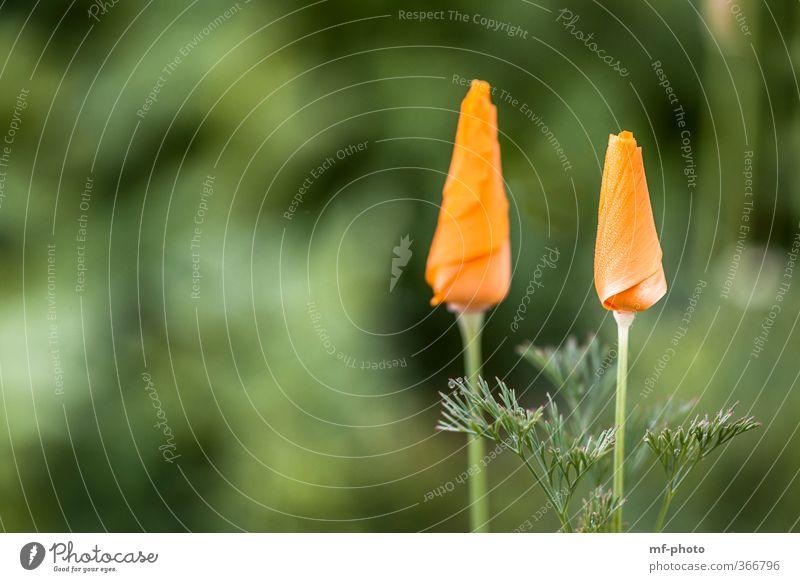 Zwillinge Natur Pflanze Blume grün orange California Poppy Farbfoto Außenaufnahme Makroaufnahme Menschenleer
