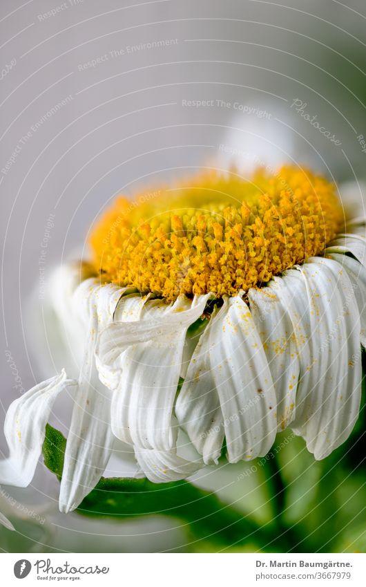 Welking Leucanthemum-Hybride, Blütenkopf, Nahaufnahme leucanthemum Margerite Zwitter ornamental Garten Pflanze gelb weiß welkend Willkommen