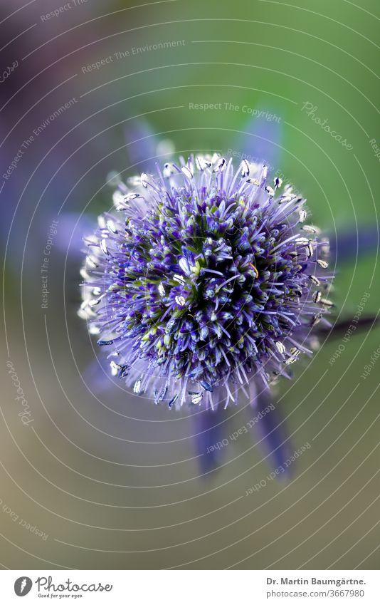 Eryngium planum, die blaue Eryngo oder Mannstreu; Blütenkopf von oben Blau-Eryngo Flachmeer-Stechpalme Pflanze krautig mehrjährig Stachelige Kratzdistel