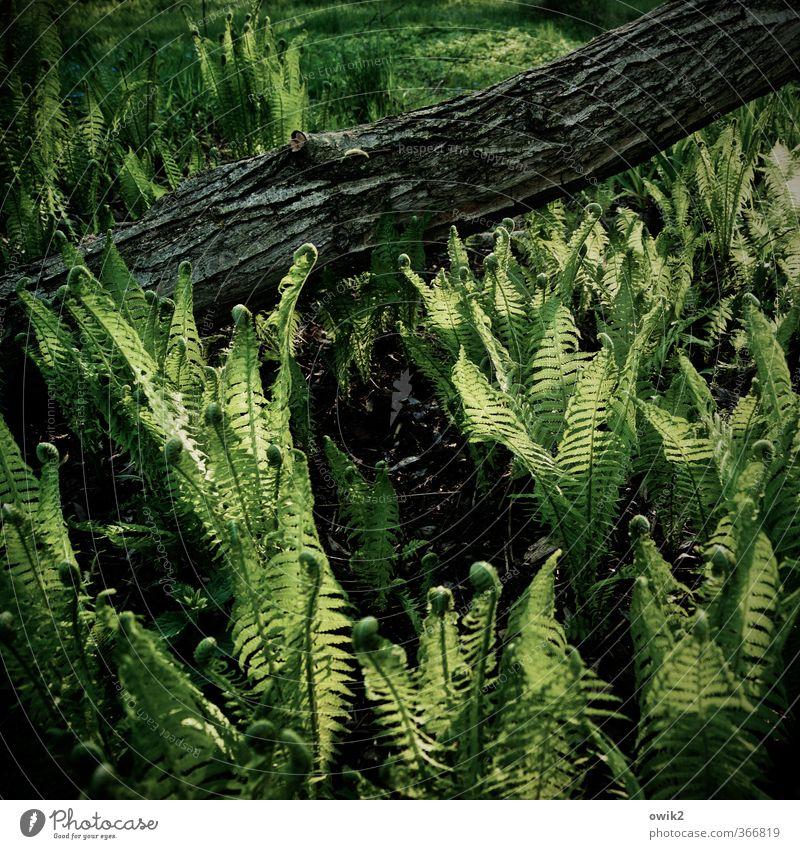 Holz und Farn Umwelt Natur Landschaft Pflanze Klima Wetter Schönes Wetter Baum Grünpflanze Baumstamm Baumrinde Echte Farne leuchten Wachstum wild grün