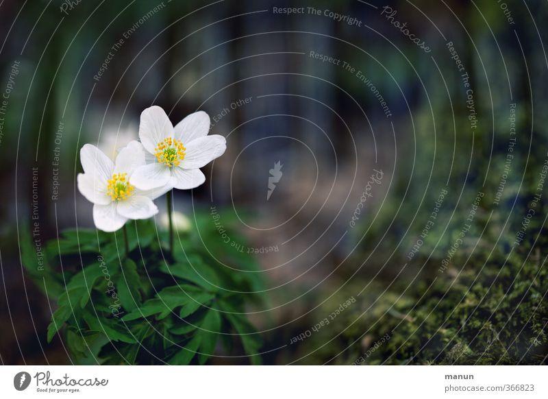 2 Frühblüher Natur Blume Frühling Moos Umweltschutz Wildpflanze Frühlingsblume Buschwindröschen