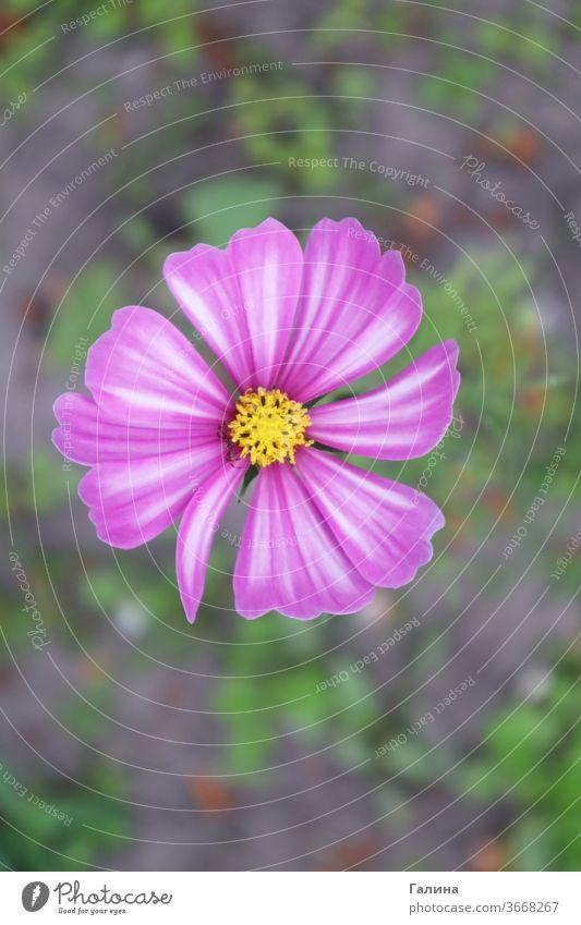 Violette und weiße Cosmos bipinnatus-Blüte Wachstum Astern Gartenarbeit Blüte Blume Garten-Kosmos mexikanische Aster Kosmos bipinnatus Blütenblätter cosmeya