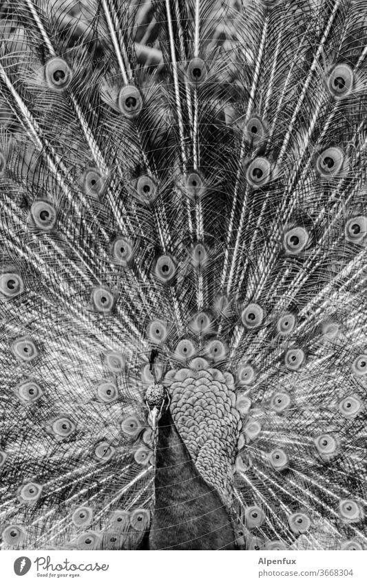 vornehme Blässe Pfau Vogel Außenaufnahme Menschenleer Pfauenfeder Stolz Tier Tierporträt eitel Brunft elegant ästhetisch Nahaufnahme Tag Wildtier exotisch