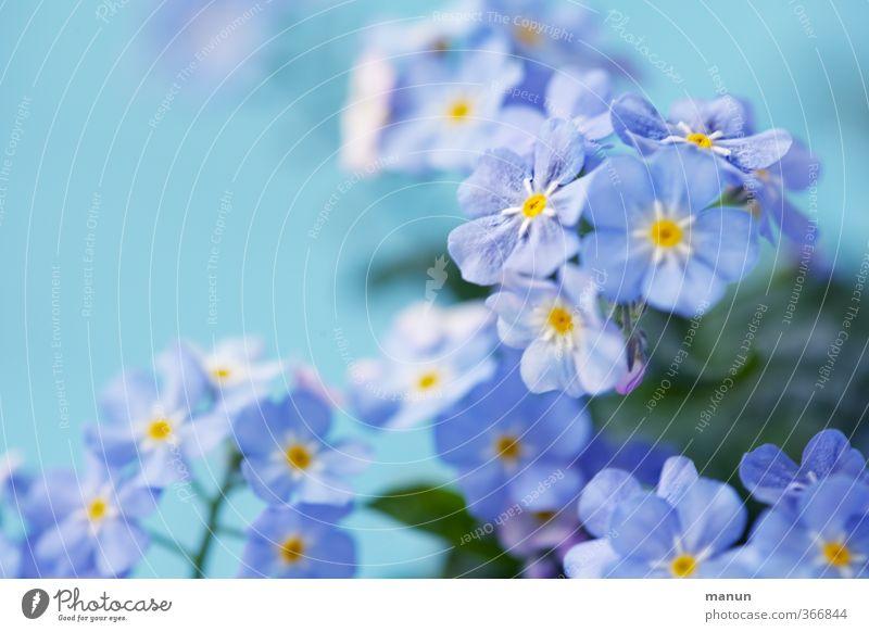 Vergissesnicht Valentinstag Natur Pflanze Blume Vergißmeinnicht Freundschaft Verliebtheit Treue Romantik Farbfoto Nahaufnahme Menschenleer Textfreiraum links