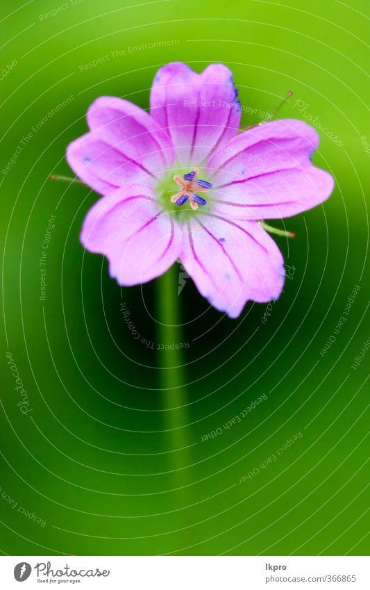 Aufspaltung einer rosa Geranium dissectum geraniacee i Natur Blume Linie Blühend blau grün rot schwarz Storchschnabel Sektum fünf Vorbau Blütenblatt Frühling