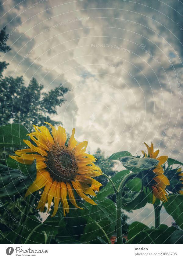 Sonnenblumen auf Balkonien blüte himmel gelb Sommer Pflanze Blüte Außenaufnahme Nahaufnahme wolken menschenleer mobil