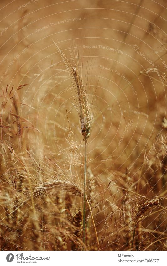 getreide Getreide Getreidefeld Feld Landwirtschaft Kornfeld Ähren Nutzpflanze Ackerbau Lebensmittel Ernährung Sommer golden ökologisch Weizenfeld Roggen