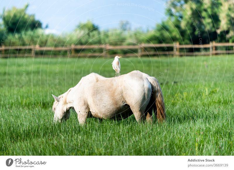 Pferd grasend auf grüner Wiese weiden Weide Feld üppig (Wuchs) natürlich Gras Natur Katalonien Spanien Tier Säugetier pferdeähnlich ländlich Grasland Park