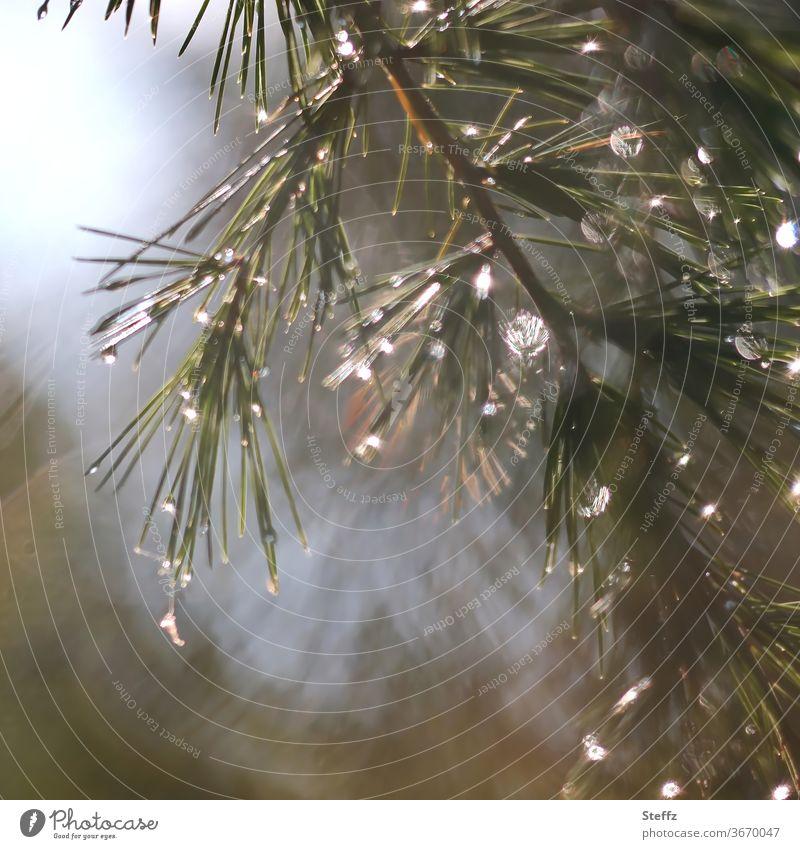 vom Licht und Regen Regentropfen Zweig Nadelbaumzweig glitzern Fichte nass Tropfen Lichtschein Lichteinfall Lichtpunkt Wetter besonderes Licht schlechtes Wetter