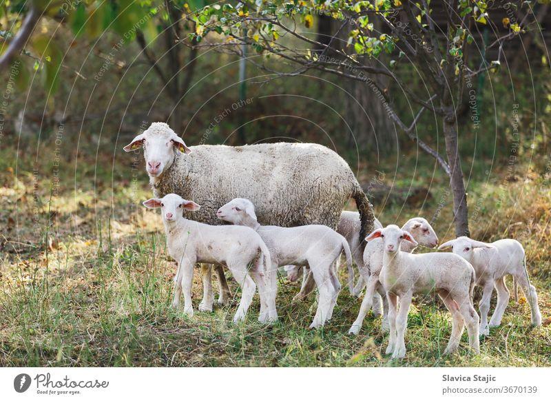 Süße junge Lämmer mit ihrer Mutter stehen draußen auf einem Bauernhof und starren in die Kamera Sonne Lamm weiden Schaf Feld Landschaft Ackerland Weidenutzung