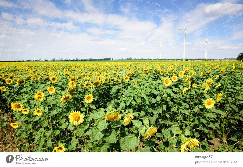 Ein Feld blühender Sonnenblumen unter blauen Himmel mit einigen Windrädern im Hintergrund Sonnenblumenfeld Sommer Blauer Himmel leicht bewölkt Schönes Wetter