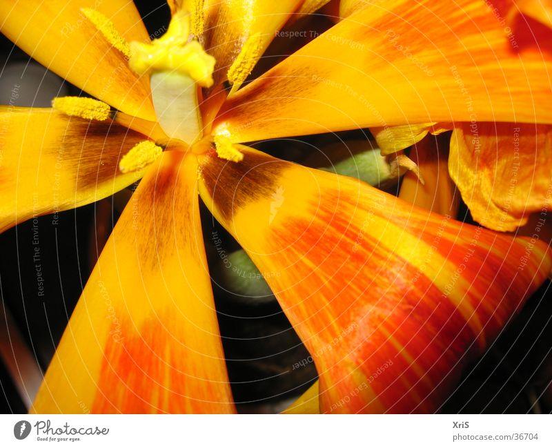 Tulpe Blume Pflanze Blüte rot Detailaufnahme Nahaufnahme Makroaufnahme orange