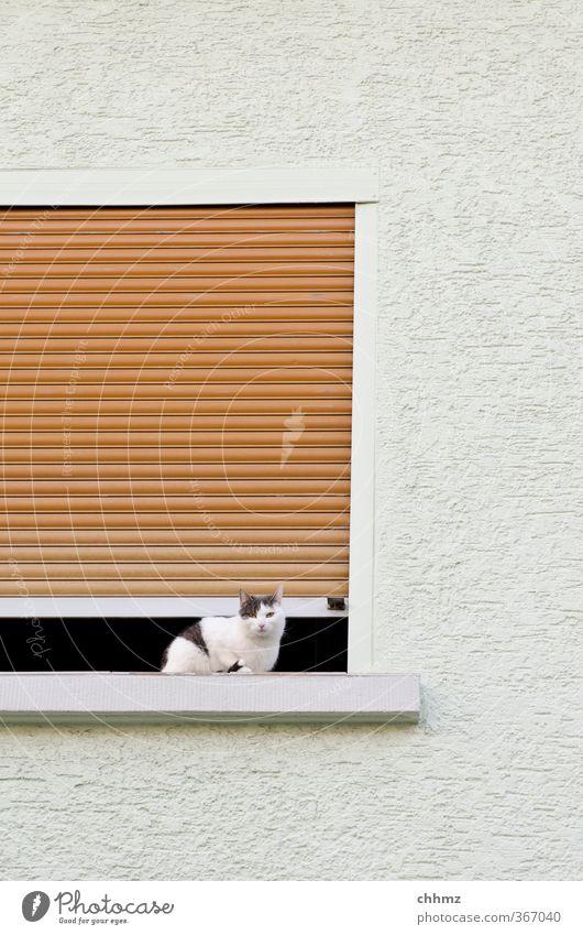 Guillotine Haustier Katze 1 Tier Blick sitzen Neugier weiß gefährlich Gebäude Fenster Wand Putz Rollladen Jalousie Spalte Luft Lamelle Fensterbrett Farbfoto
