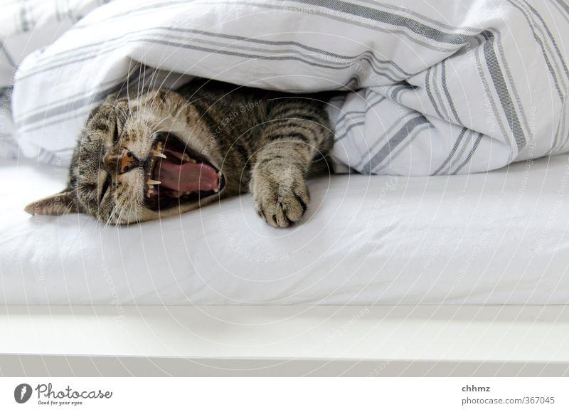Nehmt euch in Acht, ich bin erwacht. Katze Erholung ruhig Tier Wärme liegen schlafen Streifen Bett Fell Bettwäsche Gebiss Möbel Haustier Geborgenheit gemütlich