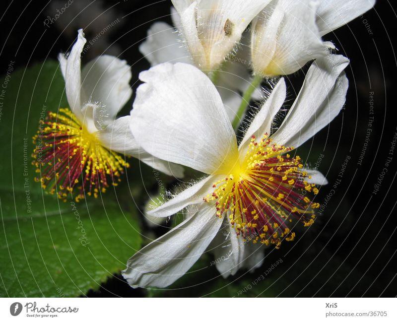 Zimmerlinde Blume Pflanze Blüte gelb weiß Detailaufnahme Nahaufnahme Makroaufnahme