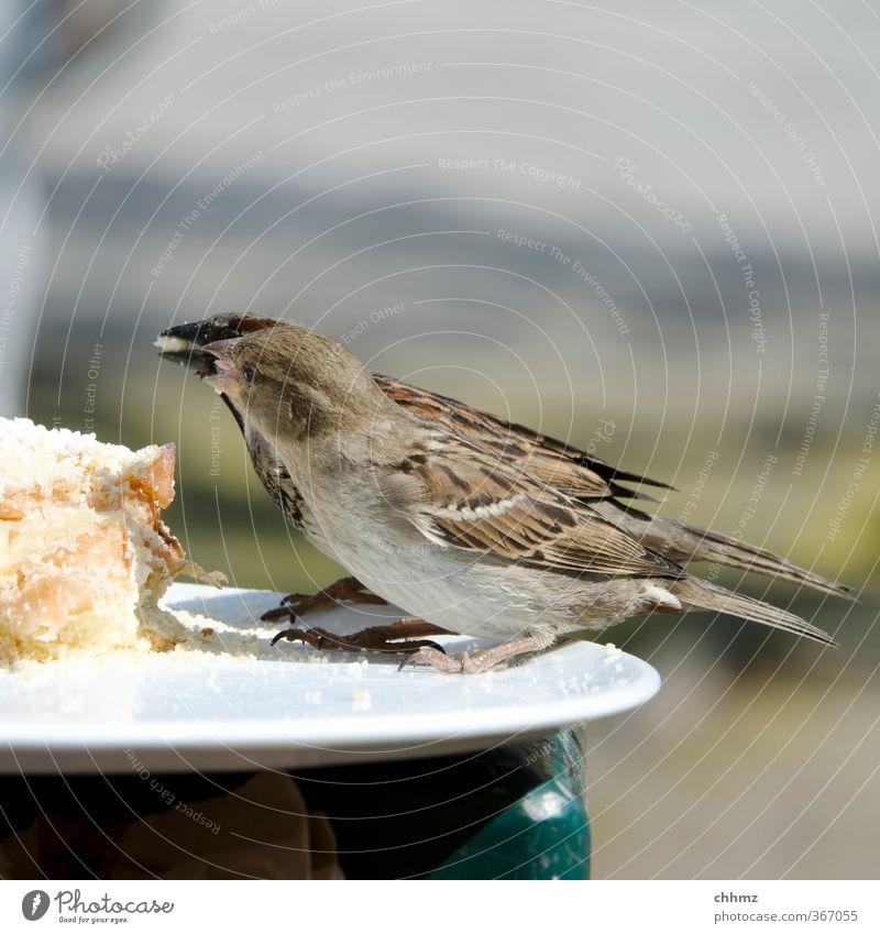 Futterneid Kuchen Flügel Spatz 2 Tier Essen Fressen füttern Teilen abgeben Krümel einheitlich Teller Tellerrand Feder Futterplatz Farbfoto Gedeckte Farben