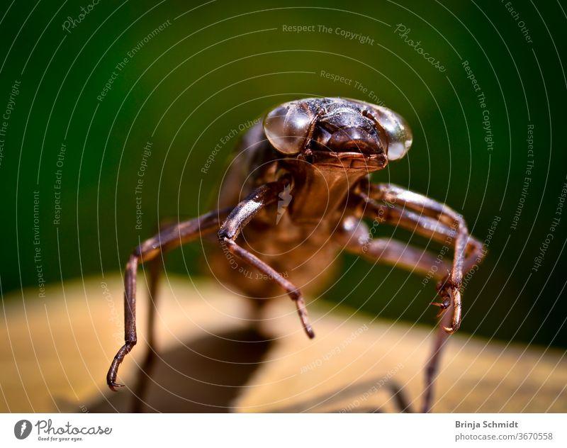 Die Larvenhülle einer geschlüpften Libelle frontal, Makro species single deserted entomology libellula birth pond aquatic hatched old skin peel detail