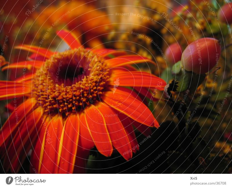 Gerbera im Strauß Blume Pflanze rot Blüte orange Blumenstrauß
